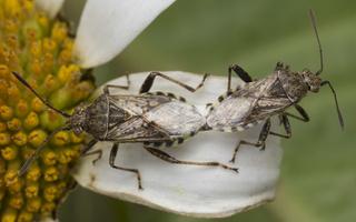 Stictopleurus punctatonervosus copula · ryškiapilvė kampuotblakė poruojasi