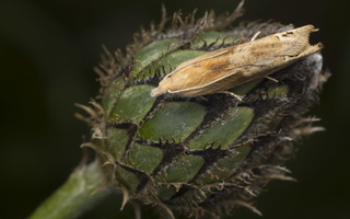 Centaurea scabiosa · didžiagalvė bajorė