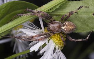 Araneus marmoreus male · marmurinis kryžiuotis ♂