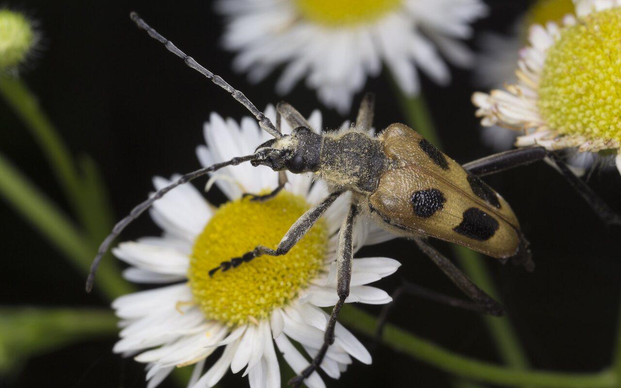 Pachyta-quadrimaculata-3965.jpg