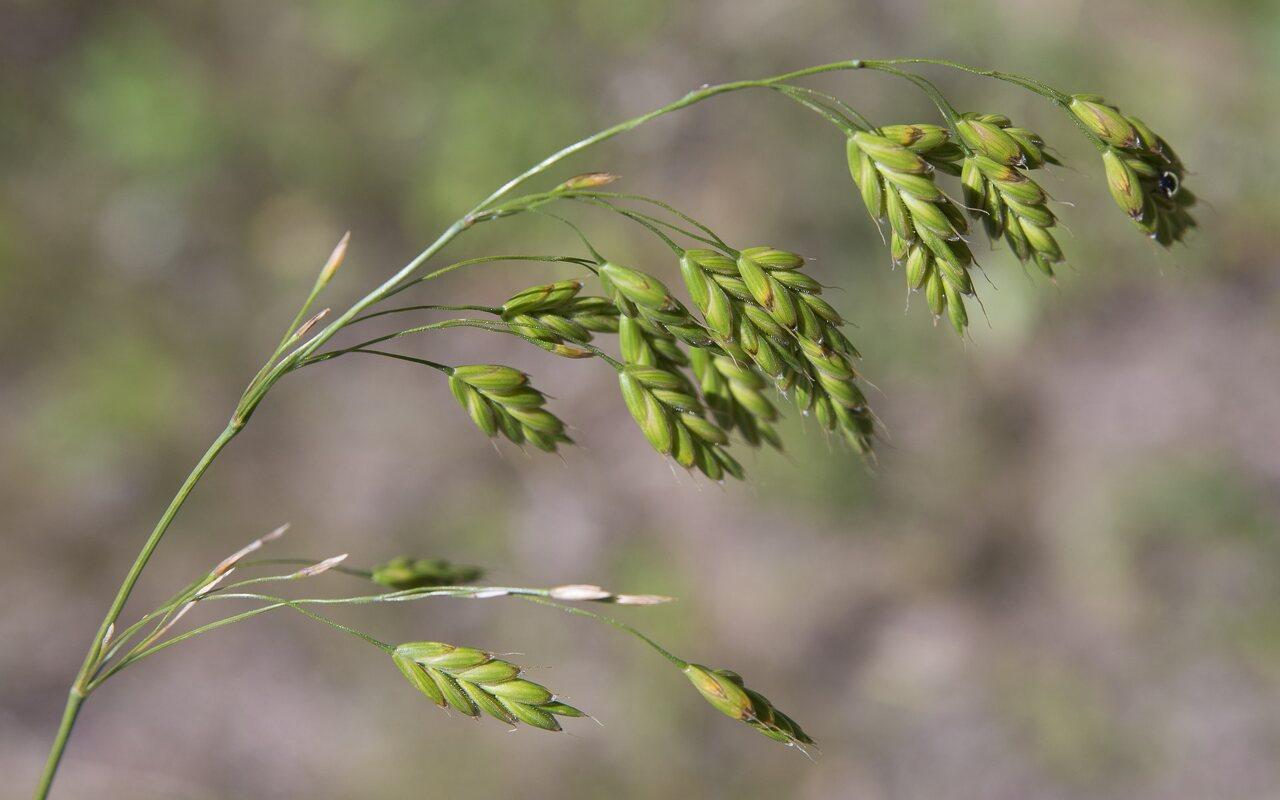 Bromus-secalinus-4007.jpg
