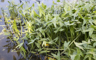 Sagittaria sagittifolia · strėlialapė papliauška