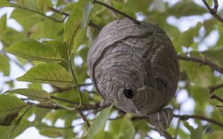 Wasp nest · vapsvų lizdas