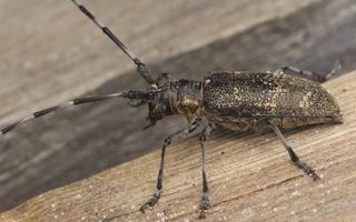 Monochamus galloprovincialis female · pušinis ožiaragis ♀