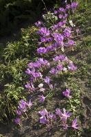 Colchicum autumnale · rudeninis vėlyvis