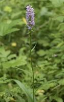 Dactylorhiza fuchsii · aukštoji gegūnė