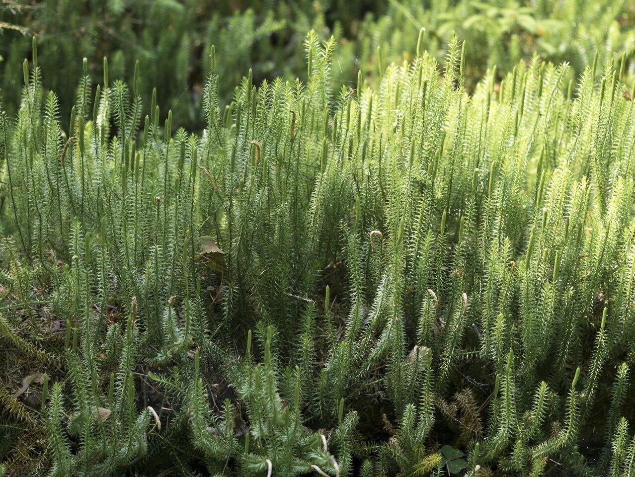 Lycopodium-annotinum-P1060708.jpg