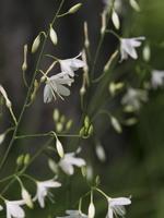 Anthericum ramosum · šakotasis šiaudenis