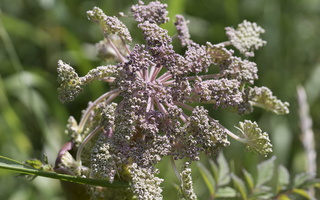 Angelica archangelica · vaistinė šventagaršvė