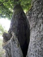 Tilia cordata · mažalapė liepa