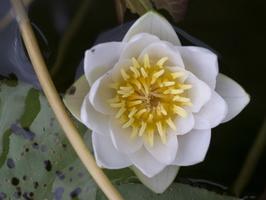 Nymphaea candida · mažažiedė vandens lelija