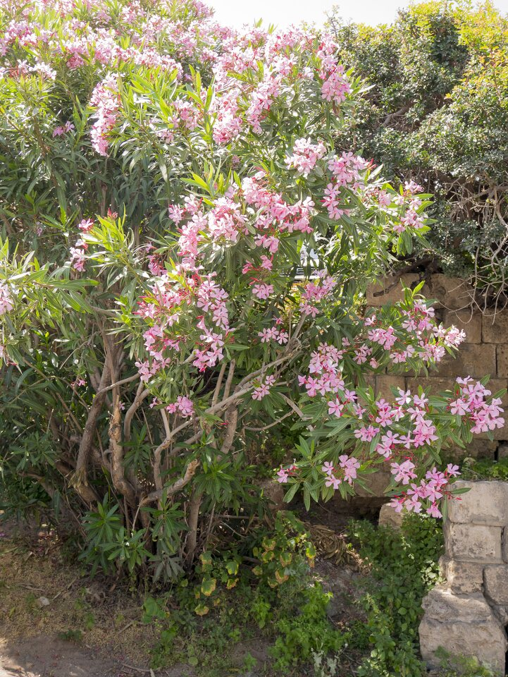 Nerium-oleander-P1020532.jpg