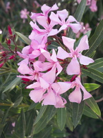 Nerium oleander · paprastasis oleandras