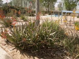Asphodelaceae · plėnūniniai