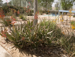 Aloe sp. · alavijas, alijošius