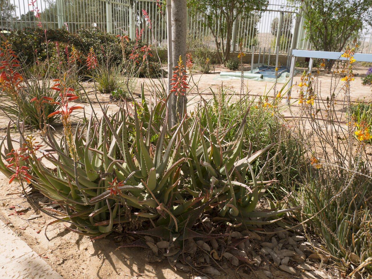 Aloe-P1020545.jpg