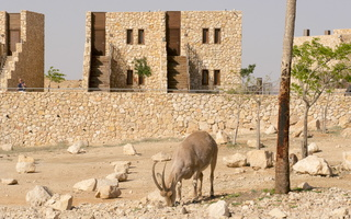 Capra ibex nubiana P1020548