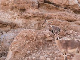 Capra ibex nubiana P1020557