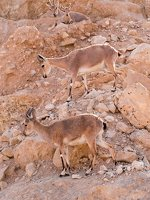 Capra ibex nubiana P1020558