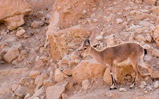 Capra ibex nubiana P1020559