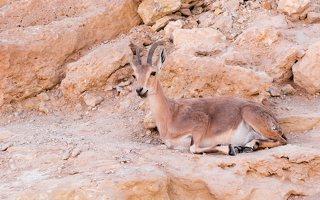 Capra ibex nubiana P1020560