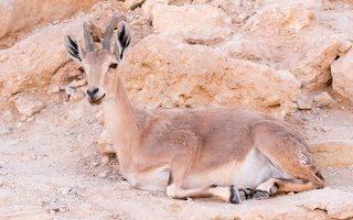 Capra ibex nubiana P1020561