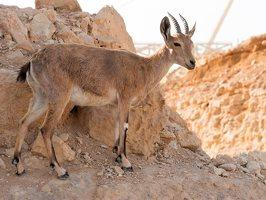 Capra ibex nubiana P1020562
