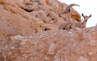 Capra ibex nubiana P1020563