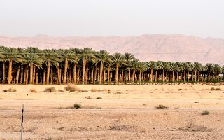 Date palm plantation near Eilat P1020578