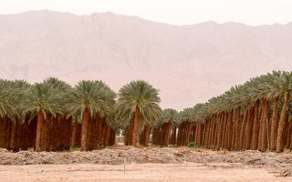 Date palm plantation near Eilat P1020930