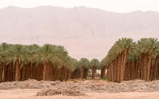Date palm plantation near Eilat P1020931
