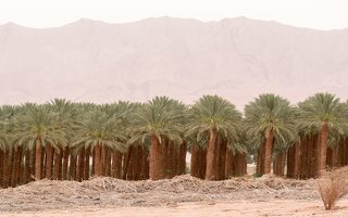 Date palm plantation near Eilat P1020932