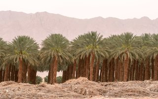 Date palm plantation near Eilat P1020933
