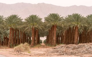 Date palm plantation near Eilat P1020934
