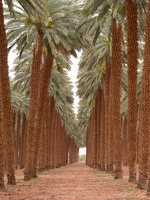 Date palm plantation near Eilat P1020935