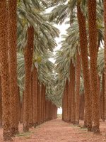 Date palm plantation near Eilat P1020937
