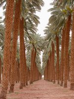 Date palm plantation near Eilat P1020938
