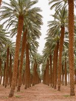 Date palm plantation near Eilat P1020939