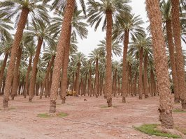Date palm plantation near Eilat P1020941