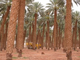 Date palm plantation near Eilat P1020942