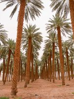 Date palm plantation near Eilat P1020943