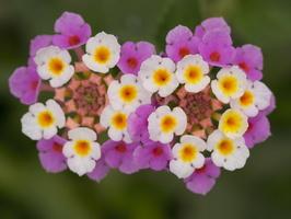 Verbenaceae · verbeniniai