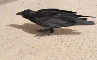 Corvus rhipidurus · trumpauodegis kranklys