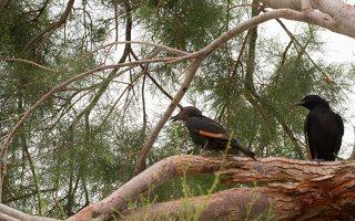 Onychognathus tristramii · rusvasparnis ilgauodegis varnėnas
