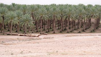 Date palm plantation P1030184