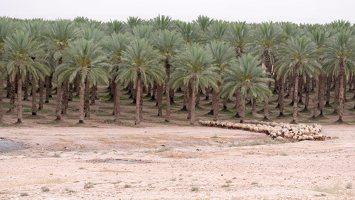 Date palm plantation P1030185