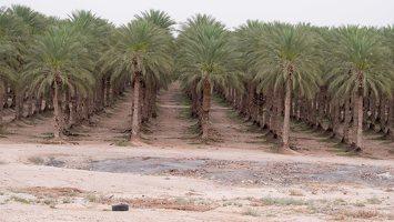 Date palm plantation P1030186