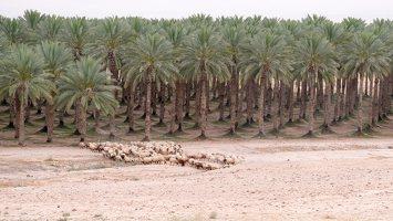 Date palm plantation P1030187