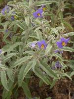 Solanum elaeagnifolium · siauralapis baklažanas