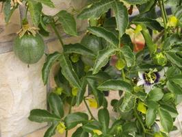 Passiflora edulis · valgomoji pasiflora